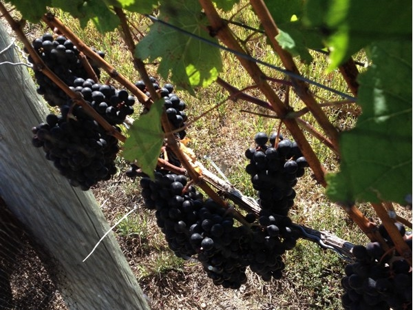 Long Island winery's on the north fork are a true must see!