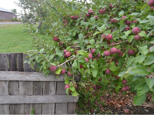 The Jamaicans will be in town soon to start harvesting these beautiful apples at Rulfs Orchard