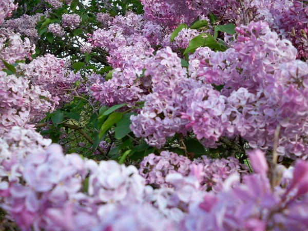 Lilacs up close in Highland Park in May
