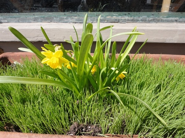 New spring grass in a window box at Flowers on Main Street