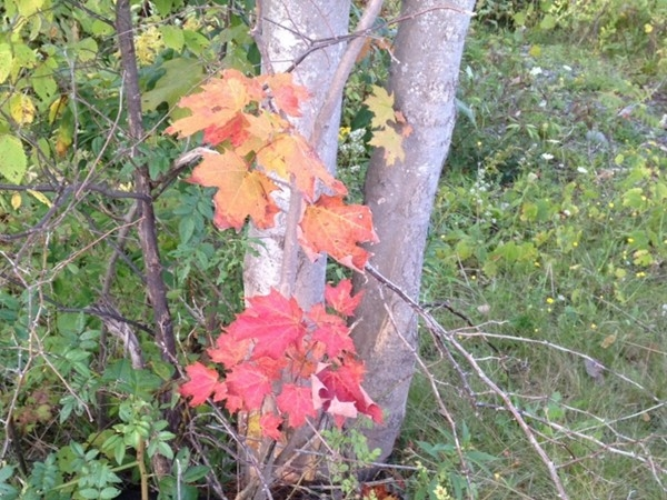 Swamp Maples are the first trees in the fall to show their colors.