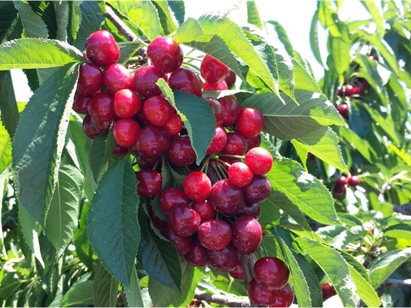 U-Pick cherries from Kapppus Farms