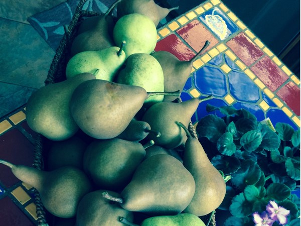It's time for pear picking. Harvest in Dyker