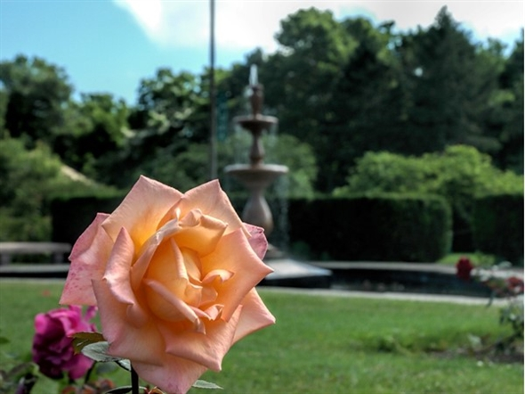 Maplewood Park has a huge collection of roses and hosts the annual Rose Festival