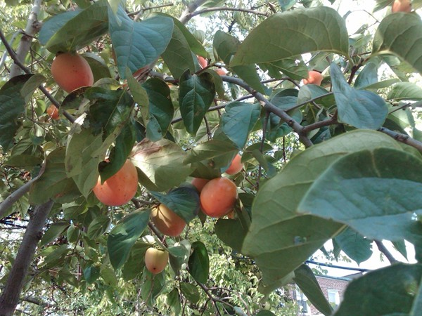 Here is a beautiful persimmon tree in Dyker
