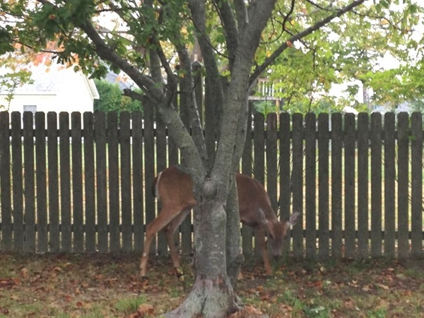 On Ocean Avenue, this deer thought she found a good hiding spot!