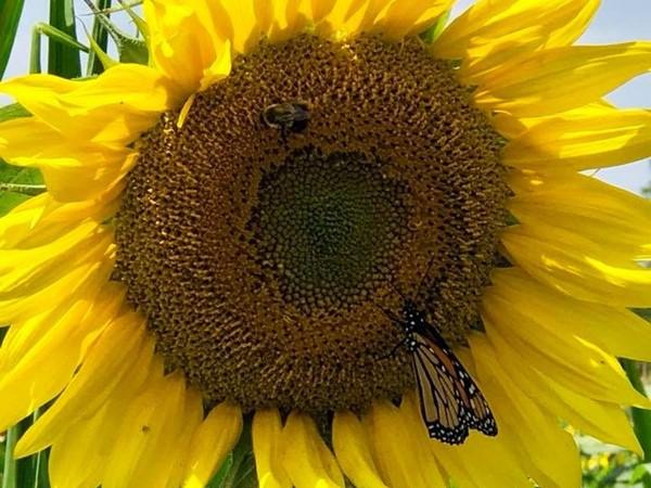 Hudson Valley Cold Press Sunflower Oil - 40 acre sunflower farm