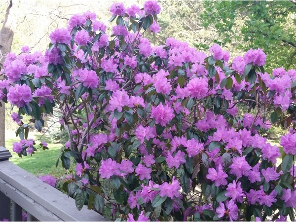Azaleas blooming in east Greenbush on May 5