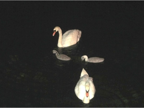 Mid-night swim with the new Swan Pond family, cygnets are about three weeks old