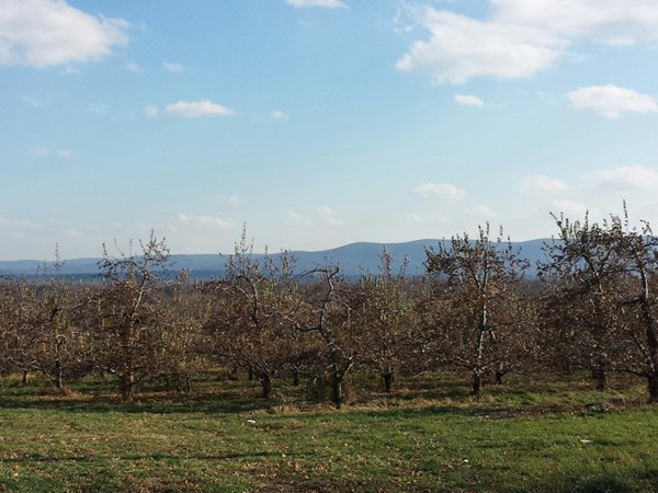 Autumn view of Marlboro apple orchards