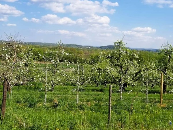 Early summer at Soons Orchard... pretty apple blossoms