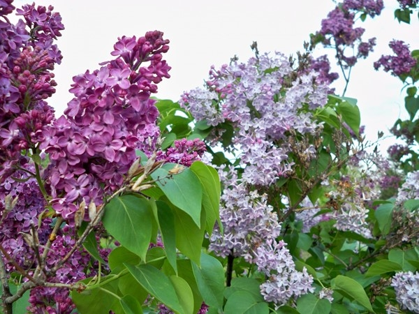 Lilacs in full bloom at Rochester's Annual Lilac Festival in Highland Park in mid May!