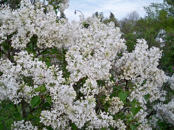 White lilacs in Highland Park during the annual Lilac Festival