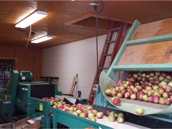 Sorting the apples for Cider at Smith's Orchard and Cider Mill. Make sure to try the Cider Slushy!