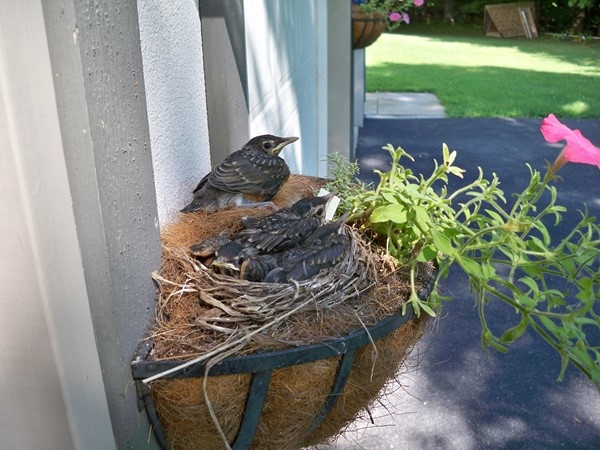 Robins getting ready to leave the nest