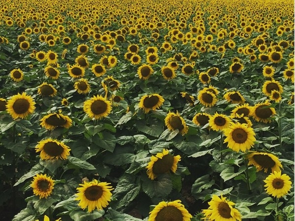 Pittsford's perennial late-summer gift! Everyone comes out to greet the sunflowers