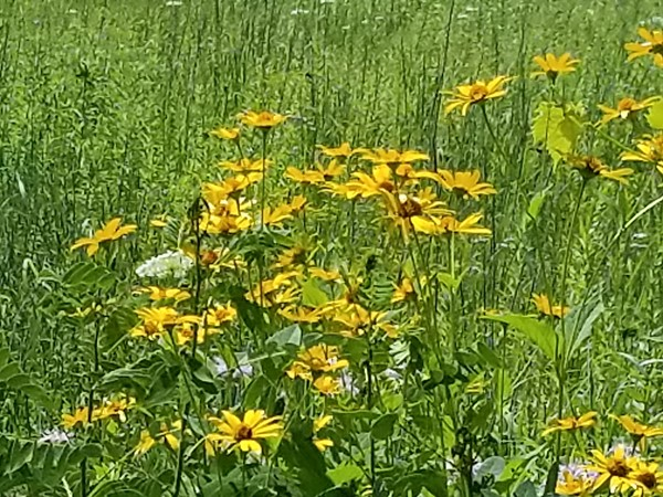 Summer wildflowers are plentiful at Bashakill Wildlife Management Preserve