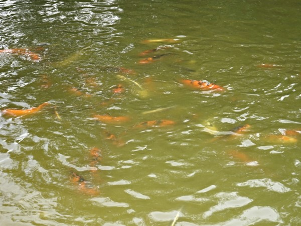 Have fun feeding fish in the pond while tasting wine at Pugliese Vineyards