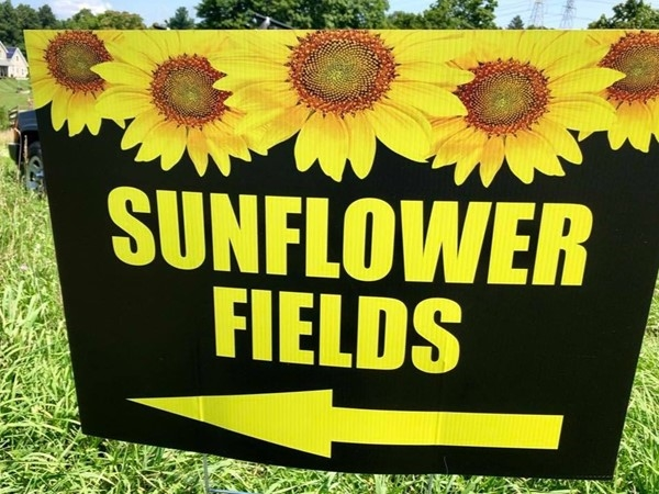 Visit the Sunflower fields one week a year off Sleight Pass Rd in Pleasant Valley - pick your own