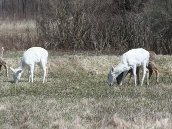 Just outside on Trumansburg, the white deer roam on the old Seneca Army base